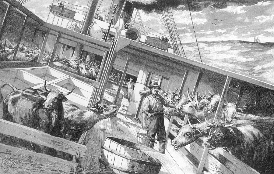 An 1891 image 'A Cattle Steamer at Sea.' ex Scribners